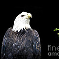 Minocqua Bald Eagle by TommyJohn PhotoImagery LLC
