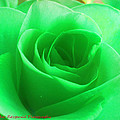 Mint Rose by Heather Fitzgerald