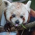 Mischievious Red Panda by Greg Nyquist