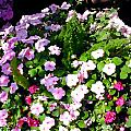 Mixed Impatiens In Dappled Shade by Elaine Plesser