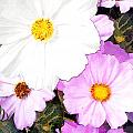 Mixed Pink And White Cosmos by Elaine Plesser