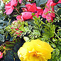 Mixed Ranunculus In A Hanging Basket by Elaine Plesser