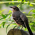 Mocking Bird Picture 3 by Ester  Rogers