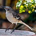 Mocking Bird by Robert Bales