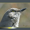 Mockingbird Closeup by Ericamaxine Price