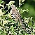 Mockingbird I by Joe Faherty