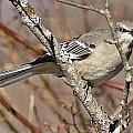 Mockingbird II by Joe Faherty