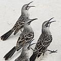 Mockingbirds Mimidae Galapagos, Equador by Keith Levit