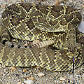 Mohave Diamondback Rattlesnake Coiled by Bob Christopher