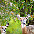 Mom And Baby Deer by Peggy Franz