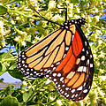 Monarch An Wildflowers by Sheri McLeroy
