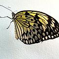 Monarch Butterflie by Joyce Woodhouse