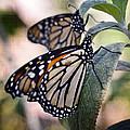 Monarch Butterflies  by Saija  Lehtonen