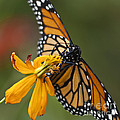 Monarch Butterfly   by Heiko Koehrer-Wagner