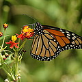 Monarch Butterfly by Alan Hutchins