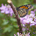 Monarch Butterfly by Amy Jackson