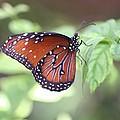 Monarch Butterfly by Andrea  OConnell