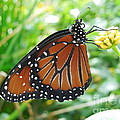 Monarch Butterfly by Chad and Stacey Hall