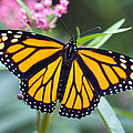 Monarch Butterfly by Chris ODonoghue
