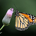 Monarch Butterfly by Dale Kincaid