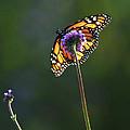Monarch Butterfly by Elena Elisseeva