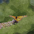 Monarch Butterfly by Ericamaxine Price