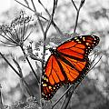 Monarch Butterfly by Eva Kaufman