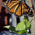Monarch Butterfly by Eva Thomas