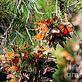 Monarch Butterfly Gathering by Tap On Photo