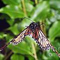 Monarch Butterfly In Flight by Ted Kinsman