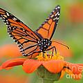 Monarch Butterfly Macro by Jack Schultz