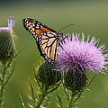 Monarch Butterfly On Bull Thistle Wildflowers by Kathy Clark