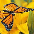 Monarch Butterfly On Flower by Don Hammond