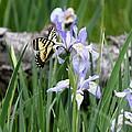 Butterfly On Iris by Amara Roberts