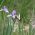 Monarch Butterfly On Iris Ser2 by Amara Roberts