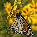 Monarch Butterfly On Tickseed Sunflower Din146 by Gerry Gantt