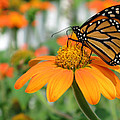 Monarch Butterfly On Tithonia Flower by Jack Schultz