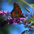 Monarch Butterfly by Patrick Witz