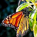 Monarch Butterfly by Phil Huettner