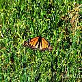 Monarch Butterfly Photograph by Kristen Fox