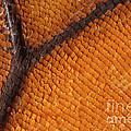 Monarch Butterfly Wing Scales by Raul Gonzalez Perez