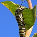 Monarch Caterpillar by Bruce J Robinson