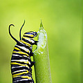 Monarch Caterpillar  by Stephanie McDowell