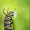 Monarch Caterpillar  by Stephanie McDowell