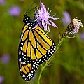 Monarch by Cindy Lindow