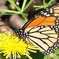 Monarch Feeding by Mark J Seefeldt
