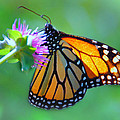 Monarch Glow by Diane Wood