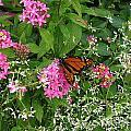 Monarch In The Garden   by Nancy Patterson