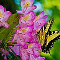 Monarch Of Blowing Rock by Ches Black