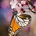 Monarch On A Flower by Darcy Michaelchuk